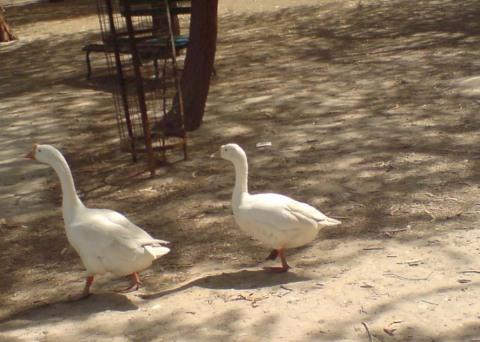 ducks-photo